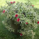Dorotheanthus bellidiformis 'Mezoo Trailing Red' - Dorotheanthus bellidiformis 'Mezoo Trailing Red' - IJsbloempje