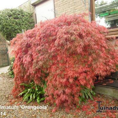 Acer palmatum 'Orangeola' -