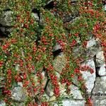 Dwergmispel - Cotoneaster procumbens 'Queen of Carpets'