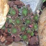 Sempervivum 'Othello' - Huislook