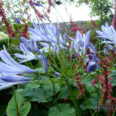 Agapanthus (Funnel group) -