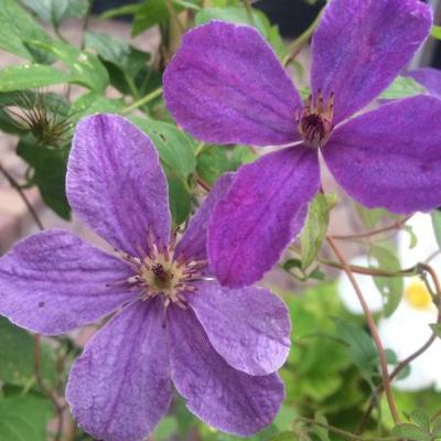 Clematis 'SoMany Lavender Flowers' - Bosrank