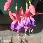 Fuchsia 'Godelieve' -