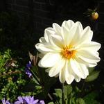 Dahlia 'Classic Swanlake' - Dahlia 'Classic Swanlake' - Dahlia