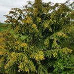 Taxus baccata 'Dovastoniana Aurea' - Taxus baccata 'Dovastoniana Aurea' - Venijnboom