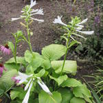 Hosta plantaginea 'Grandiflora' - Hartlelie
