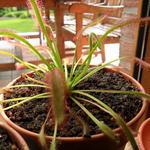 Drosera - Drosera - Zonnedauw, vleesetende plant