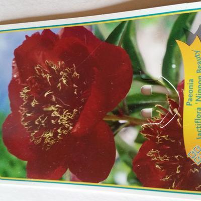 Paeonia lactiflora 'Nippon Beauty' - Pioen - Paeonia lactiflora 'Nippon Beauty'