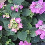 Hydrangea macrophylla 'Taube' - Hortensia - Hydrangea macrophylla 'Taube'