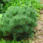 Pinus mugo 'Mops' - Bergden - Pinus mugo 'Mops'