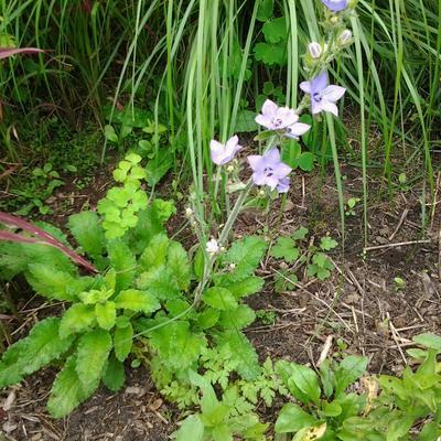 Campanula primulifolia -