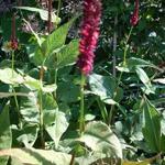 Duizendknoop - Persicaria amplexicaulis 'JS Calor'
