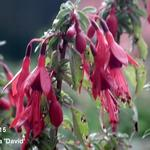 Fuchsia 'David' - Bellenplant - Fuchsia 'David'