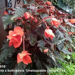 Begonia x boliviensis 'Unstoppable Upright Fire' - Begonia