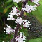 Actaea simplex 'James Compton' - Actaea simplex 'James Compton' - Christoffelkruid