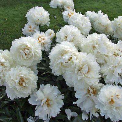 Paeonia lactiflora 'Bowl of Cream' -