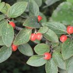 Cotoneaster franchetii - Dwergmispel