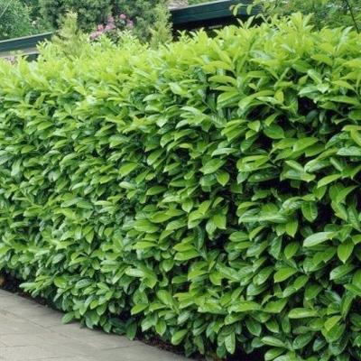 Prunus laurocerasus 'Novita' -