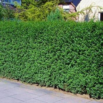 liguster ligustrum vulgare 39 atrovirens 39 planten online kopen tuinadvies. Black Bedroom Furniture Sets. Home Design Ideas
