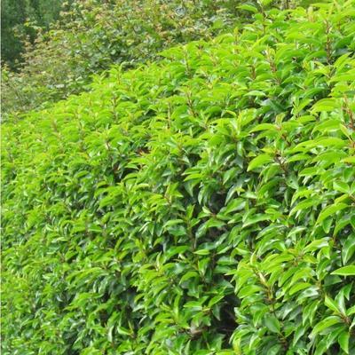 Prunus lusitanica  -