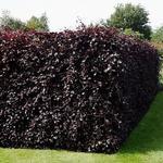 Fagus sylvatica 'Atropunicea' - Rode beuk, Bruine beuk - Fagus sylvatica 'Atropunicea'