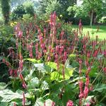 Persicaria amplexicaulis 'Firetail' - Duizendknoop - Persicaria amplexicaulis 'Firetail'
