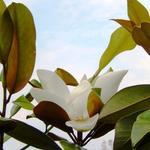 Magnolia grandiflora -