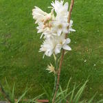 Polianthes tuberosa 'The Pearl' - Polianthes tuberosa 'The Pearl'