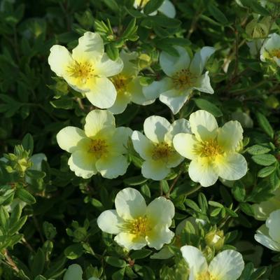 Potentilla fruticosa 'Limelight' -