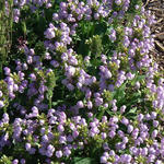 Prunella grandiflora 'Loveliness' - Prunella grandiflora 'Loveliness' - Bijenkorfje/Heelkruid