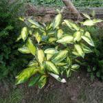 Olijfwilg - Elaeagnus x ebbingei 'Limelight'