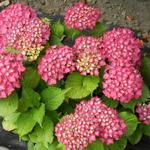 Hydrangea macrophylla 'Glowing Embers' - Hortensia - Hydrangea macrophylla 'Glowing Embers'