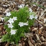 Lithodora diffusa 'Alba' - Parelzaad, Steenzaad - Lithodora diffusa 'Alba'