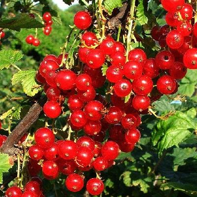 Ribes rubrum 'Red Poll  - Aalbes, Rode bes