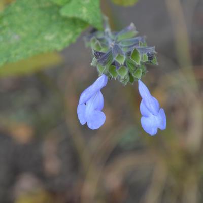 Salvia atrocyanea -