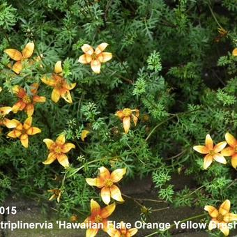 Bidens triplinervia 'Hawaiian Flare Orange Yellow Brush'
