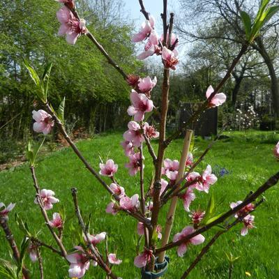 Prunus persica var nucipersica 'Madame Blanchet' -