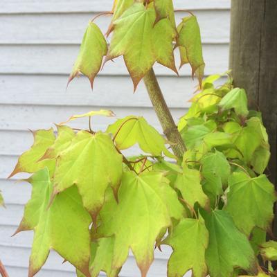 Acer cappadocicum 'Aureum' -