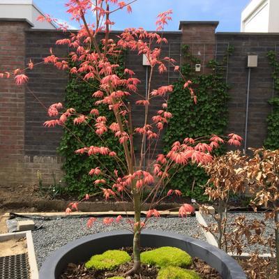 Acer palmatum 'Momoiro-koya-san' -