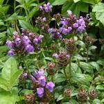 Prunella grandiflora 'Freelander Blue' - Prunella grandiflora 'Freelander Blue' - Bijenkorfje, Heelkruid