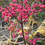 Euonymus europaeus 'Red Cascade' - Kardinaalsmuts - Euonymus europaeus 'Red Cascade'