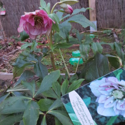 Helleborus orientalis 'Double Picotee' -