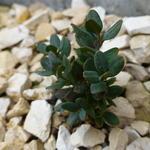 Buxus rugulosa var. prostrata  - Buxus rugulosa var. prostrata  - Buxus, boordpalm, palmboompje
