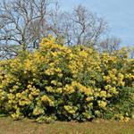 Acacia dealbata - Acacia dealbata - Mimosa, Zilver acacia