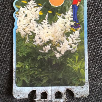 Astilbe japonica 'Gladstone' - Pluimspirea - Astilbe japonica 'Gladstone'