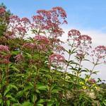 Leverkruid/Koninginnekruid - Eupatorium purpureum