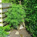 Sambucus nigra f. laciniata - Peterselievlier - Sambucus nigra f. laciniata