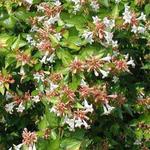 Abelia x grandiflora 'Francis Mason' - Abelia - Abelia x grandiflora 'Francis Mason'