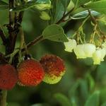 Arbutus unedo - Aardbeiboom - Arbutus unedo