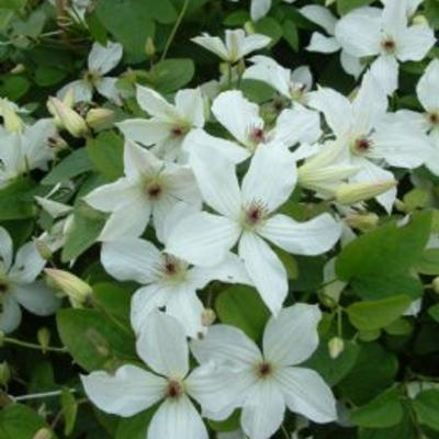 Clematis 'Forever Friends'  - Bosrank